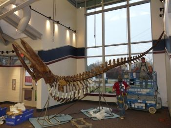 Whale cast being installed at the Visitor Center
